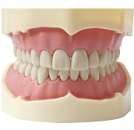 ZESTAW SZCZĘK DO FANTOMÓW (28 zębów)